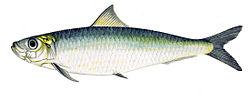 Sardine or Pilchard?