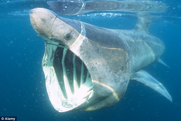 a dramatic rescue of a basking shark the cellars
