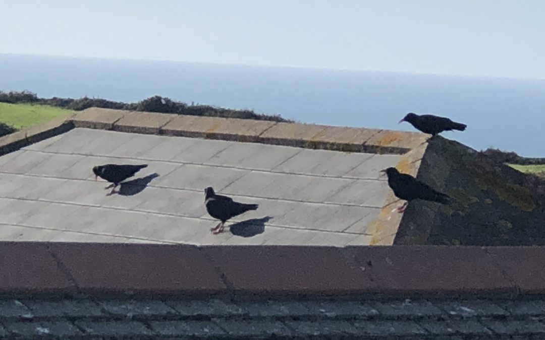 Choughs in Botallack