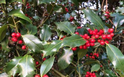 Holly at Christmas